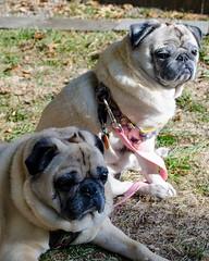 "Pugs (Kristin ""Shoe"" Shoemaker) Tags: deedee walter pugs dog rescue pet"