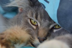 Lilou (Olivier Simard Photographie) Tags: animal chat félin oeil tigre fourrure museau mainecoon cat myosis