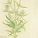 Dipsacus purpureus =: Braun Kartendistel