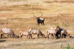 September 29, 2019 - An elk bull guards his harem. (Tony's Takes)