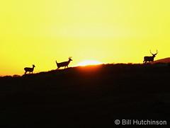 September 26, 2019 - Deer work their way along a hill at sunrise. (Bill Hutchinson)