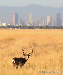 September 26, 2019 - Handsome buck in front of the Mile High City. (Bill Hutchinson)