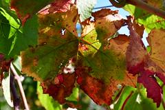 DSC_7408 (griecocathy) Tags: macro végétations feuille vigne vert rouge jaune saumoné beige violet marron