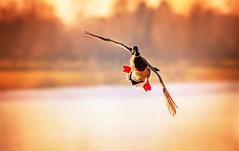 Crosswind (Caleb4Ever) Tags: caleb4ever duck wildlife crosswind bird bif birdinflight penningtonflash water sunset wings feathers waterdroplets takeoff outside national nature leigh lancashire ngc