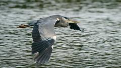 Low Flying Grey Heron (Unintended_Keith) Tags: low flying greyheron bird birdinflight wildlife nature lake water sonya9 sony200600mm sony14xteleconverter