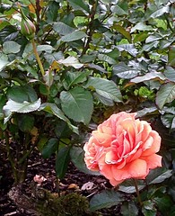 Rose and Bud (BrooksieC) Tags: sirthomasandladydixonrosegardens rose rosebud nature belfast northernireland ireland dunmurry flowers