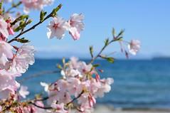 Spring at Lake Taupo (On Instagram @Rachel_Joanne) Tags: spring cherry blossoms blossom cherryblossom laketaupo lake taupo newzealand aotearoa nz nzmustdo purenz