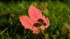 Herbstglück (tiefenunscharf) Tags: nature luck autumn canada red leaf marple green medow closeup