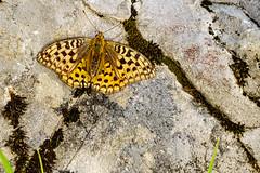 (WiSchWerk) Tags: felsenland schmetterling insekt mittelberg vorarlberg österreich