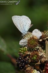 Holly Blue (Celastrina argiolus) (gcampbellphoto) Tags: hollyblue celastrinaargiolus butterfly insect nature wildlife northantrim gcampbellphoto