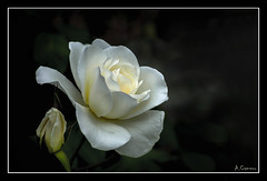 Composición floral. (antoniocamero21) Tags: composición marco flor rosa blanca foto sony color