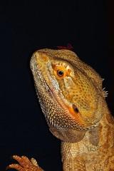 HX00167_2048 (a.marquespics) Tags: sony hx90v zeiss 30x zoom selfie variosonnart pogona lagarto australia reptil reptile pogonavitticeps beardeddragon dragãobarbudo dragão dragon mascote mascot colorido colorful animal macho male lizard rufino rufy
