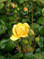 I never promised you a rose garden (BrooksieC) Tags: sirthomasandladydixonrosegardensdunmurry dunmurry roses flowers nature gardens country ireland northernireland belfast
