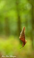 Autumn (jean-paul Falempin) Tags: automne bois arbres feuilles nature