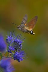 Hummingbird Hawkmoth (pstenzel71) Tags: insekten natur tiere hummingbirdhawkmoth macroglossumstellaratum taubenschwänzchen darktable bokeh insect schmetterling butterfly