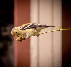 Goldfinch (mahar15) Tags: americangoldfinch goldfinch bird nature wildlife outdoors