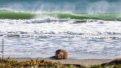 Northern Elephant Seal (jason_leffew) Tags: northern elephant seal drakes beach point reyes national seashore