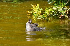 19SHR407 Juvenile coot, Priorslee Flash (bentolley1) Tags: england animal shropshire telford bird waterfowl coot