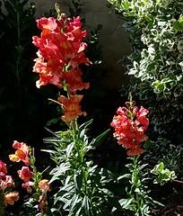 Snap, shot (BrooksieC) Tags: nature garden keynsham flowers snapdragons