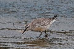 knot (DODO 1959) Tags: wildlife knot avian birds fauna wader animal water outdoor nature canon 100400mmmk2 7dmk2 carmarthenshire wales wwt llanelli