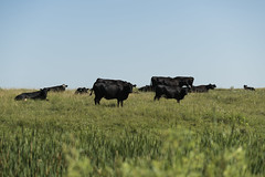 Angus Cows Resting on the Horizon (NRCS North Dakota) Tags: northdakota nrcs burleighcounty cows cattle angus