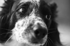 Tango (glpease) Tags: tango dogs helios44