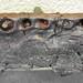 Goniopholis sp. (fossil crocodilian jawbone) (Morrison Formation, Upper Jurassic; Dinosaur National Monument, Utah, USA)