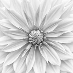 Hamari gold in monochrome (Funchye) Tags: dahlia georgine flower blomst nikon monochrome blackandwhite bnw