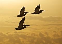 Three Flying Pelicans (imageClear) Tags: three birds animals pelicans americanwhitepelican fly flight bif flying soar sky clouds birdphotography sheboyganwisconsin nature summer aperture nikon d500 80400mm imageclear flickr photostream