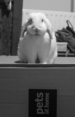 Pets at Home (daveseargeant) Tags: pets pet home petsathome nikon df 50mm 18g rabbit bunny bun marble animal rochester kent medway monochrome black white