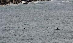Orcas _MG_3145 (Ronnierob) Tags: orcas westvoeofsumburgh shetlandisles