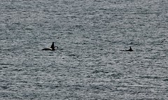 Orcas _MG_3158 (Ronnierob) Tags: orcas westvoeofsumburgh shetlandisles