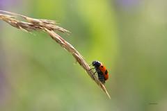 Ameisensackkäfer (ralf k. lang) Tags: insekten berlin ameisensackkäfer bug käfer insect wiese nature animals grasshopper insects bugs macro macrophotography