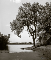 River Bank Tree (CNygren) Tags: 2400dpi aristaeduultra200 bw canoscan9000f film grtrailhead iso200 lacrossecounty mississippiriver onalaska zenobia bwfp rodinal1100