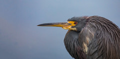 Tri Profile (SDRPhoto321) Tags: tricoloredheron tricolor heron florida green night flower sky beach sunset vowel bar design home shop coth5 natural lily white great gatorland art animal bird birds birding black bright beak canon color cloud dof depth expression eye elevated eyes exposure wetlands intercoastal light lands line mighty nature national neck nesting outdoor odd perspective painting reflection run sunny sun sunrise tree trees wet water people