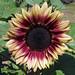 Sunflower 'Ruby Eclipse'