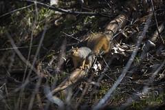 Tree Squirrel (NRCS North Dakota) Tags: northdakota nrcs emmonscounty treesquirrel squirrel animal