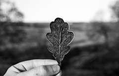 icy edges (Mano Green) Tags: winter cold ice leaf oak frost january cumbria 2017 uk england film rural 35mm canon lens eos countryside delta 100 300 40mm ilford ilfosol white black s epson perfection v550