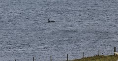 Orcas _MG_3141 (Ronnierob) Tags: orcas westvoeofsumburgh shetlandisles