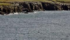Orcas _MG_3147 (Ronnierob) Tags: orcas westvoeofsumburgh shetlandisles