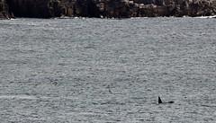 Orcas _MG_3156 (Ronnierob) Tags: orcas westvoeofsumburgh shetlandisles