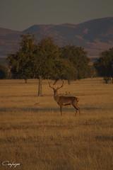 You Talking To Me? ...268/365 (cienfuegos84) Tags: cabañeros naturaleza berrea ciervo