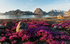 Arctic Bliss (Eden Bromfield) Tags: eastgreenland edenbromfield chamaenerionlatifolium arctic greenland wildflowers landscape nature dwarffireweed eveningsunlight niviarsiaq nationalflower mountains ice flowers