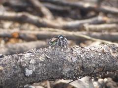Those lovely flaps (tessab101) Tags: maratus plumosus jumping spider peacock plumed australia arachnid macro arthropod