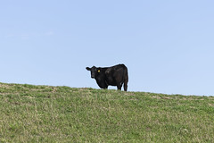 Lone Black Angus on a Ridge (NRCS North Dakota) Tags: northdakota nrcs mortoncounty cow cattle blackangus angus