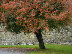 Fall colour of a tree in the Cahir Castle Park, Ireland (albatz) Tags: trees autumn fall colours cahir castle park ireland