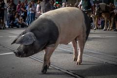 Schwäbisch Hällisch (muman71) Tags: dscf4921 schwäbischhällischesschwein sau schwein volksfestumzug badcannstatt stuttgart 2019 umzug wasen volksfest fuji