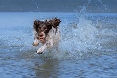 Splash (The Papa'razzi of dogs) Tags: zigzag spaniel pet nature water dog cocker outdoor hund animal hanstholm northdenmarkregion denmark