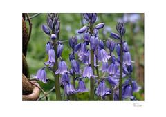 Spanish Bluebells (Hyacinthoides Hispanica) (radspix) Tags: sony ilce 7r 135mm sigmatel scalematic f18 spanish bluebells hyacinthoides hispanica