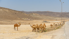 'Wild' Camels at Marneef Beach - Salalah, Oman (Peter.Stokes) Tags: coast coastline colour cruise2019 holiday landscape landscapes nature outdoors photo photography sand sea vacations camels oman salalah desert